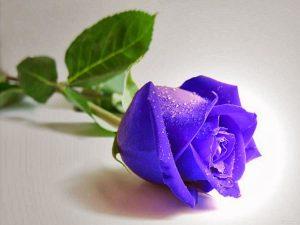 bunga-mawar-biru
